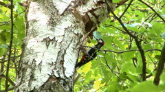 Great spotted woodpecker - father bringing worms to his young and feeding it. Stock Footage
