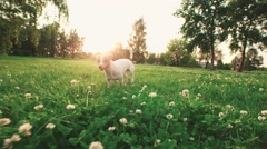 Jack Russell Terrier dog running carefree through the grass in the nature Park Stock Footage