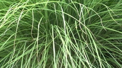 Decorative tall grasses grass Stock Footage