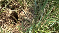 Rodent hole in yard pest pests Stock Footage