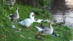 Bassano del Grappa  - Birds along the Brenta river Stock Footage