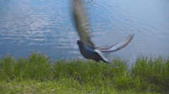 Pigeons fly over the surface of the lake. Slow mo, slo mo Stock Footage