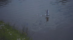 Seagull flies to the surface of the lake and the takes food a beak. Slow mo - stock footage