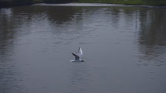 Seagull flying over the surface of the lake. Slow mo, slo mo Stock Footage