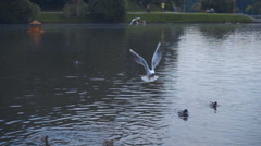 Seagull flies over a flock of ducks that are fighting for food in a lake Stock Footage