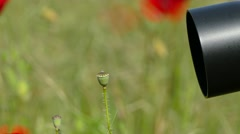 Camera Shooting Deflorated Poppies Stock Footage