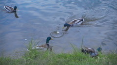 The lake ducks are fighting among themselves for food. Slow mo, slo mo Stock Footage