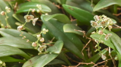 Stelis sp. a micro-orchid with tiny flowers Stock Footage