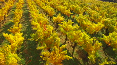 Aerial of beautiful grapevine plantation in autumn colors - stock footage