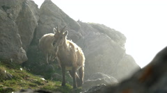 Goats grazing on mountain in misty weather Stock Footage