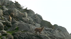 Mountain goats climbing rock Stock Footage