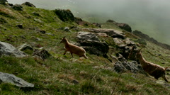 Mountain goats running on mountain in misty weather Stock Footage
