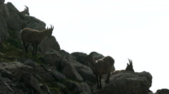 Mountain goats on rock in misty weather Stock Footage