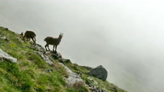 Mountain goats grazing on rock in misty weather Stock Footage