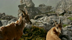 Mountain goats walking on rock Stock Footage