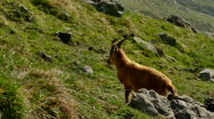 Mountain goat walking on pasture Stock Footage