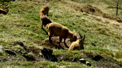 Mountain goats fighting in pasture Stock Footage