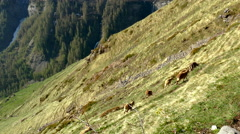 Aerial of mountain goats grazing on the mountains Stock Footage