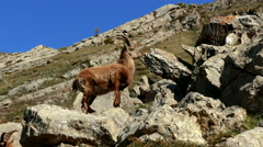 Mountain goat climbing the rocks Stock Footage