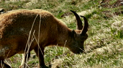 Two mountain goats grazing in the pasture Stock Footage