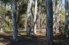 Eucalyptus tree forest on a sunny day Stock Photos