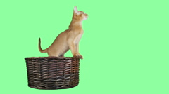 cat jumps out of a wicker basket on a green screen - stock footage