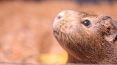 Guinea pig chews grain Stock Footage
