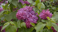Beautiful blooming lilac bush Stock Footage