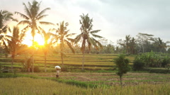 A farmer woman carrying on top of head a rice harvest bag in Ubud Bali sunset Stock Footage