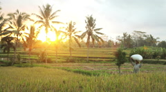 Farmer woman walking through a rice field with a head-load in Ubud Bali sunset Stock Footage