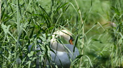 Swan Guarding Nesting Grounds Stock Footage
