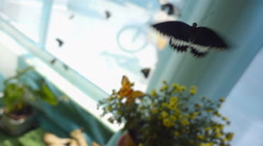 Very beautiful butterfly, Mormon, flies with a slowdown in the 10 times Stock Footage