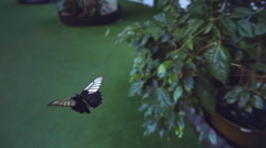 Very beautiful butterfly, Papilio memnon, flies with a slowdown in the 10 times - stock footage