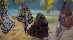 Beautiful tropical butterfly just hatched from pupae Stock Footage