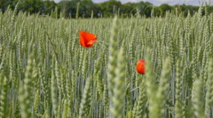 The red flower on the field of a wheat. Animal view. Slow motion capture Stock Footage