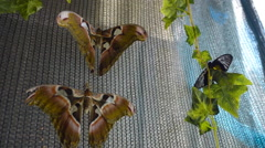 Beautiful tropical butterfly, Atlas, one of the largest, sit on the wall Stock Footage