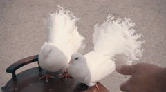 Men's hand takes one of two beautiful white doves. Slow mo, slo mo Stock Footage