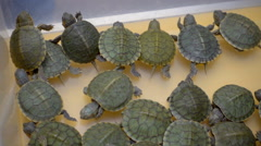 The young turtles are in the box and wait when they buy Stock Footage