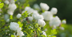 Closeup briar rose white flower on the bush with sun peaking behind Stock Footage