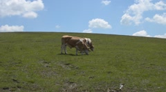 Two Grazing Cows Stock Footage
