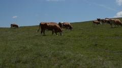 Herd of Grazing Cows Stock Footage