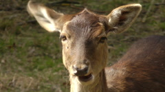 Brown deer frontal view staring at the camera Stock Footage