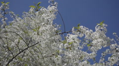 Blossoming  white flowers and green leaves on branch cherry tree in spring Stock Footage