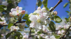 Blossoming  white flowers and green leaves on branch apple tree in spring Stock Footage