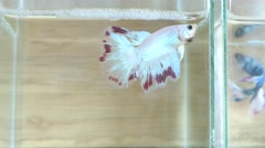 Siamese fighting fish on the wooden background Stock Footage