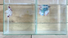 Two siamese fighting fish on the wooden background Stock Footage