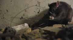 Black Rats Between The Pieces Of Bricks - stock footage