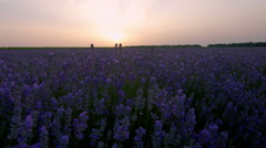 Lavender plants in a field at sunset time lapse, HDR RAW shots Stock Footage