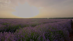 Slider shots of Lavender plants in a field at sunset, HDR shots Stock Footage