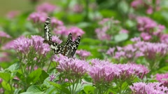 Swallowtail butterfly drinking nectar from flower - stock footage